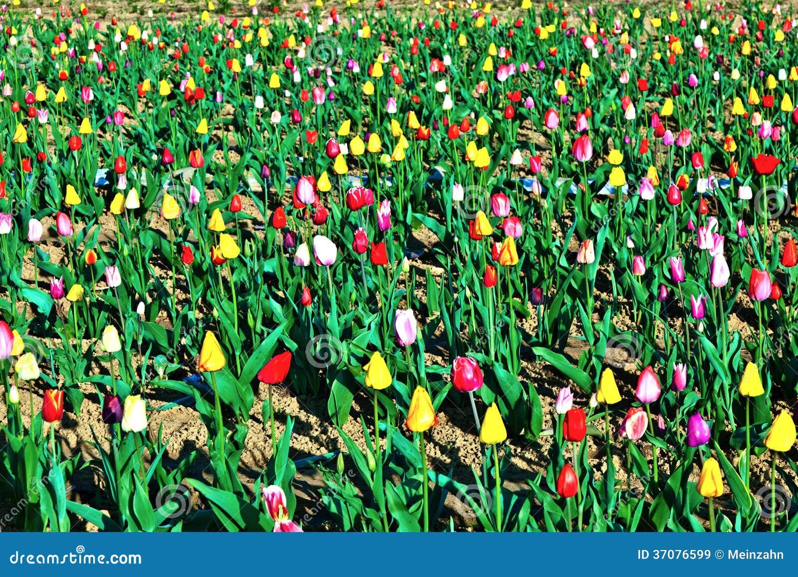 Download Wiosny Pole Z Kwitnąć Kolorowy Obraz Stock - Obraz złożonej z bukiet, plenerowy: 37076599