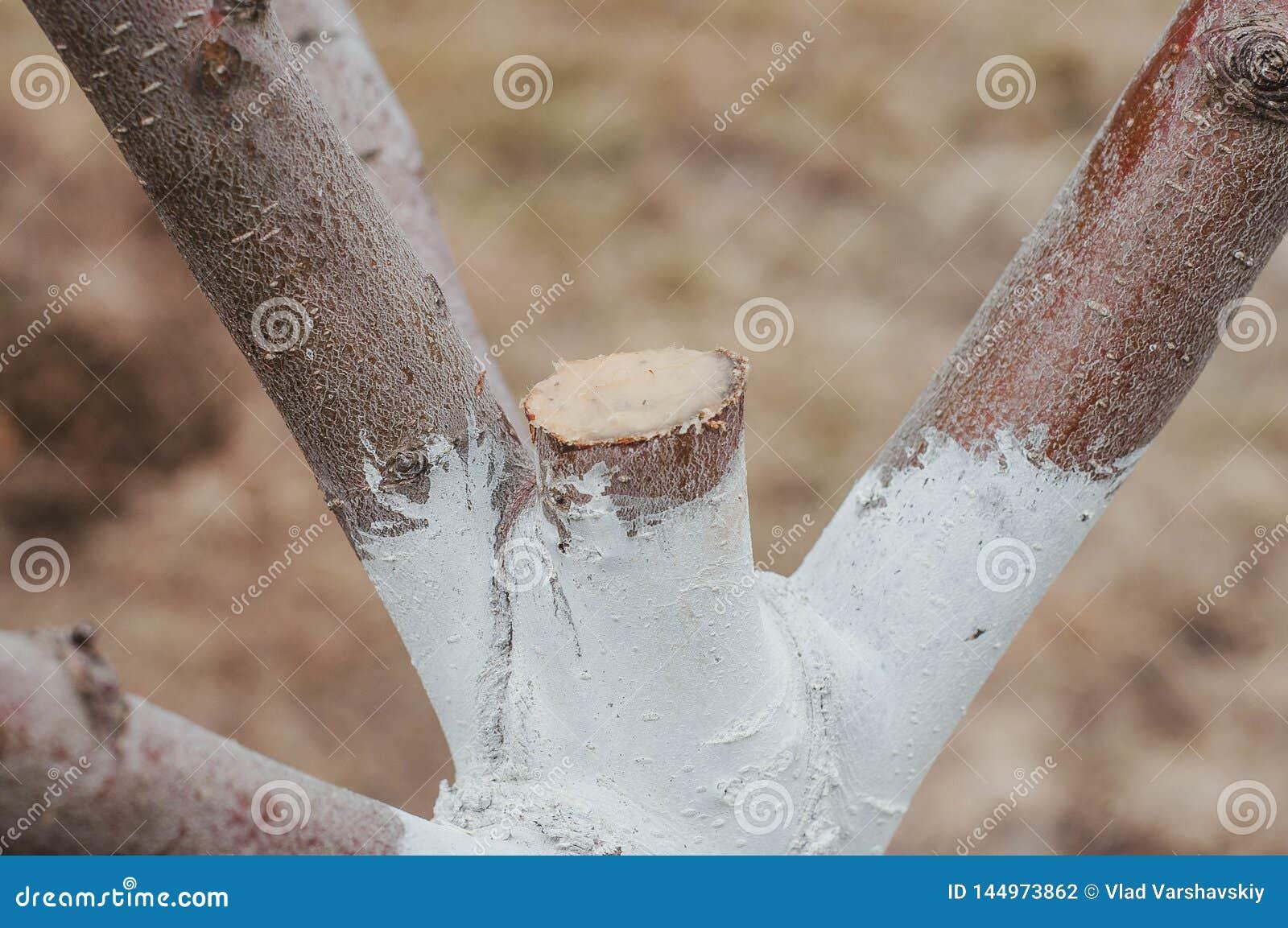 Wiosny przygotowanie drzewa dla sezonu, uprawia ogródek na intymnej fabule
