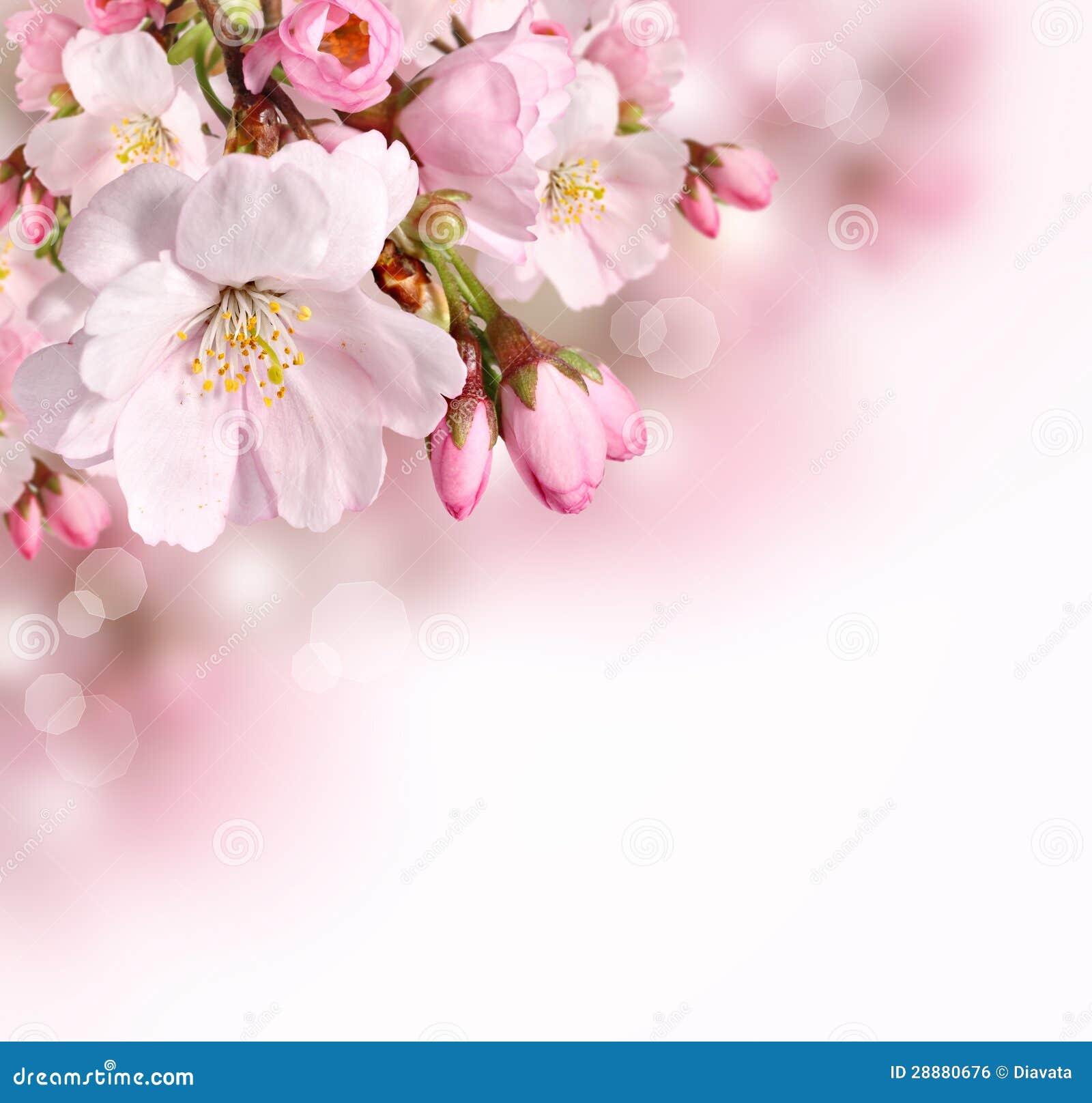 Wiosny rabatowy tło z menchii okwitnięciem