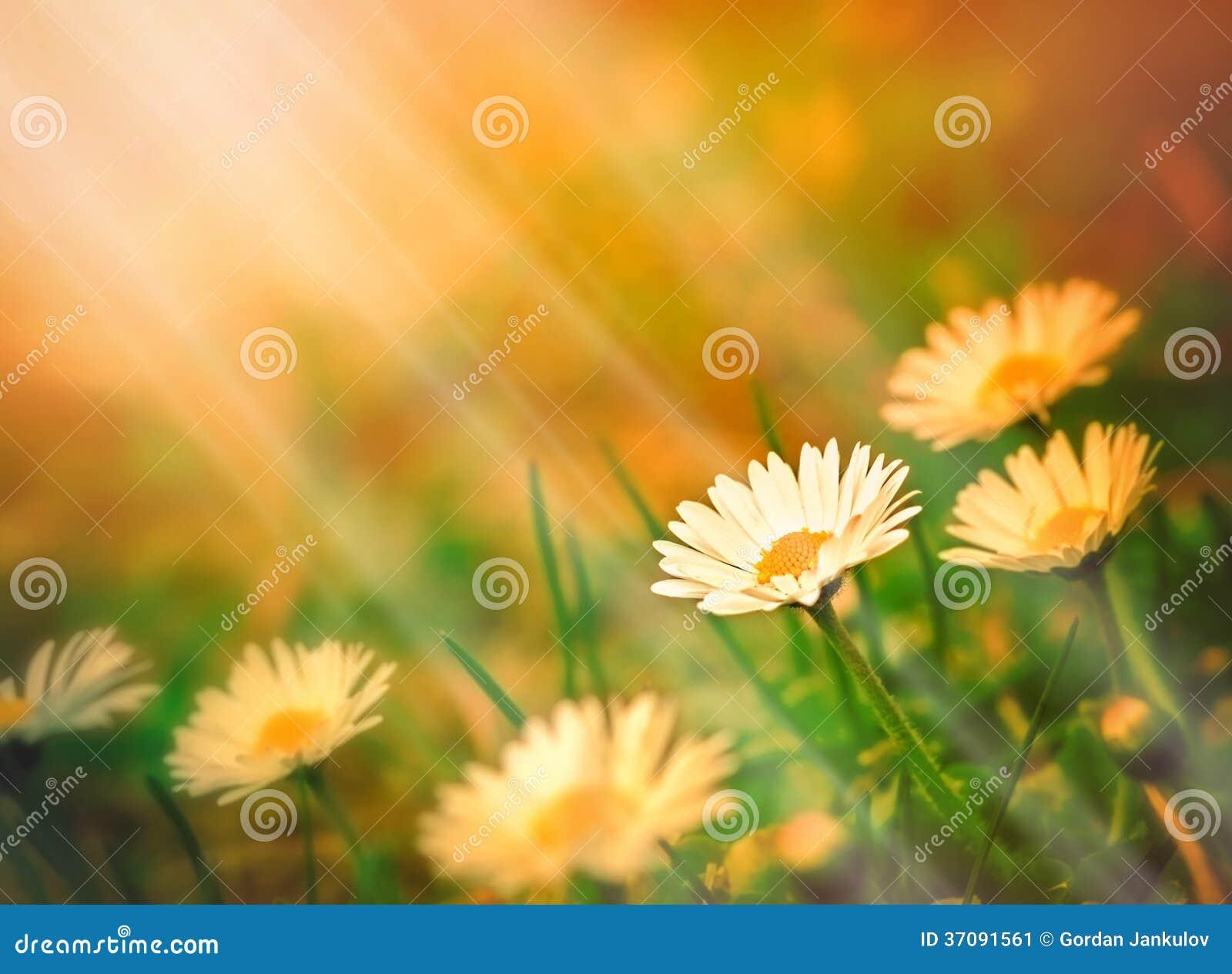 Download Wiosny stokrotka obraz stock. Obraz złożonej z przyrost - 37091561
