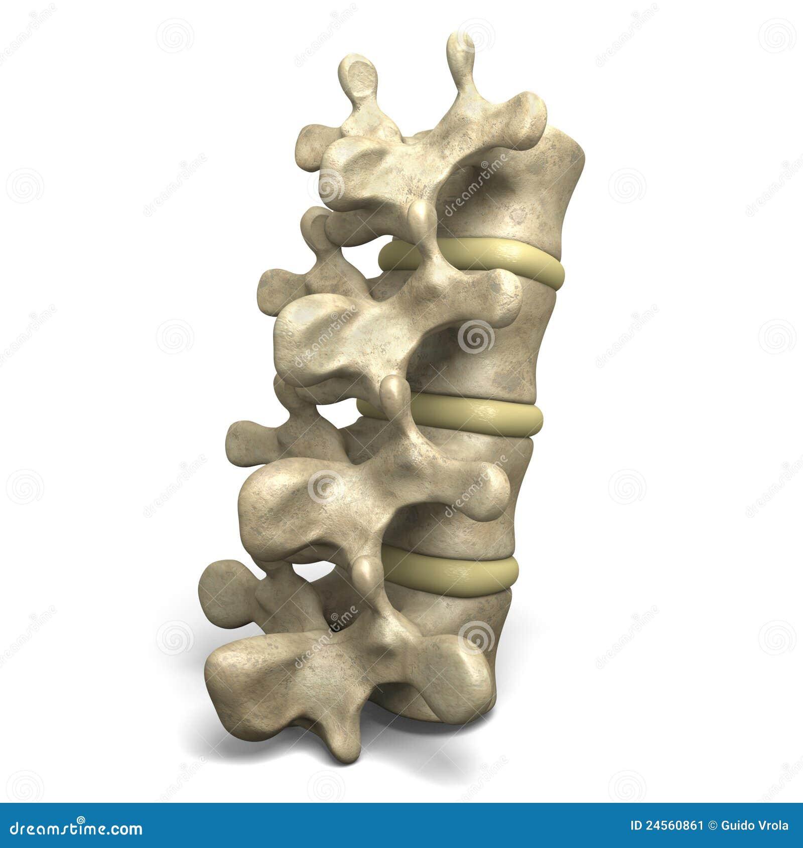 Brust- Wirbel T7 stock abbildung. Illustration von spinal - 78412654