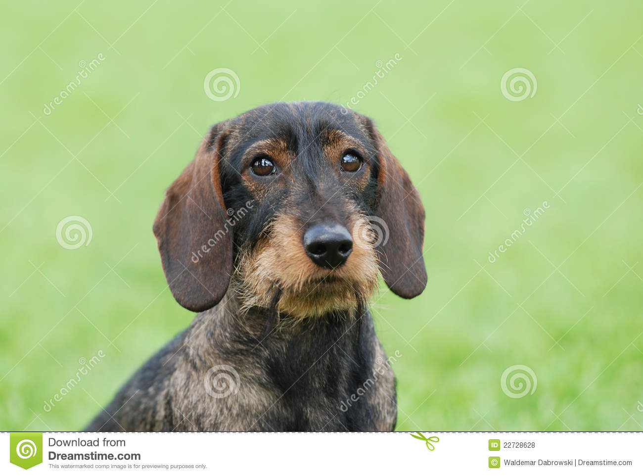 Wire-haired Dachshund Dog Royalty Free Stock Photos - Image: 22728628