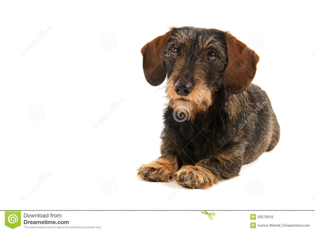 Amazing Short Hair Wire Terrier Image Collection - Electrical ...