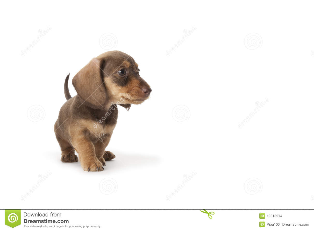 Wire-haired Dachshund Puppy Stock Photo - Image of studio, wire ...