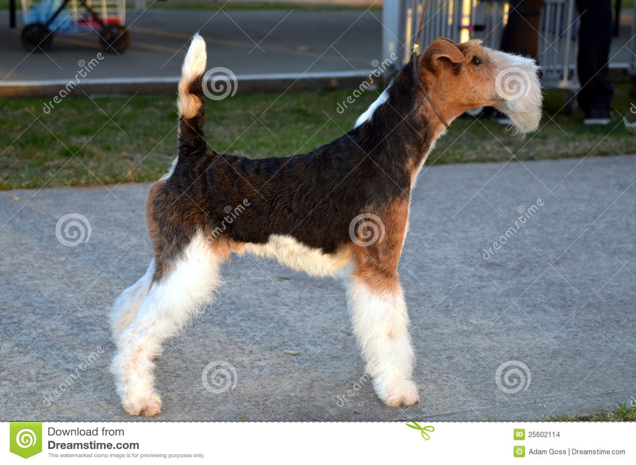 Wire Haired Fox Terrier stock photo. Image of pedigreed - 25602114