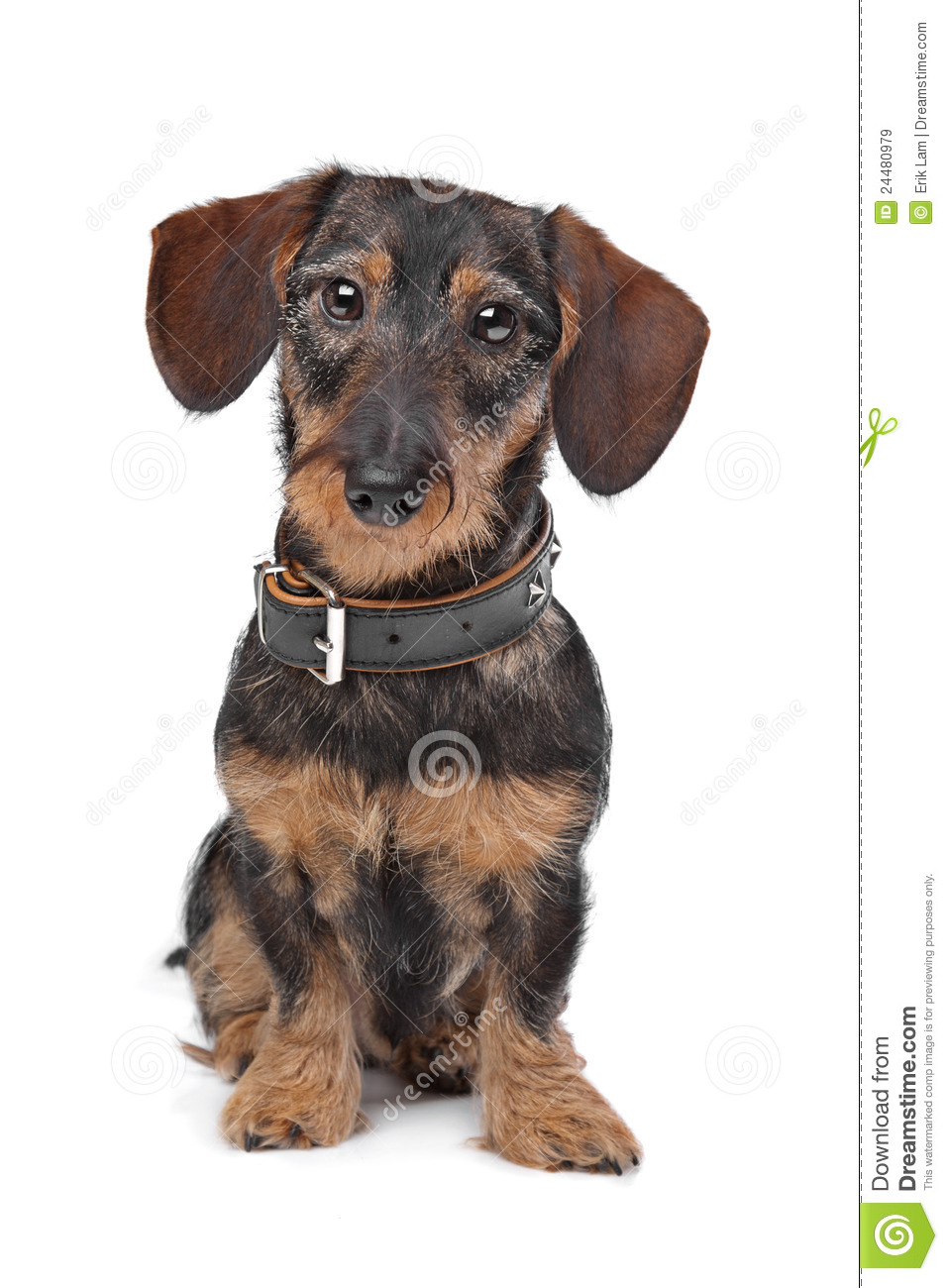 Wire Haired Miniature Dachshund Royalty Free Stock Images - Image ...