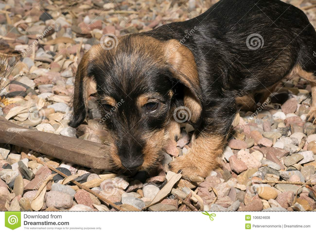 Wire Haired Miniature Dachshund Puppy Rudi Chewing On Wood Stock ...