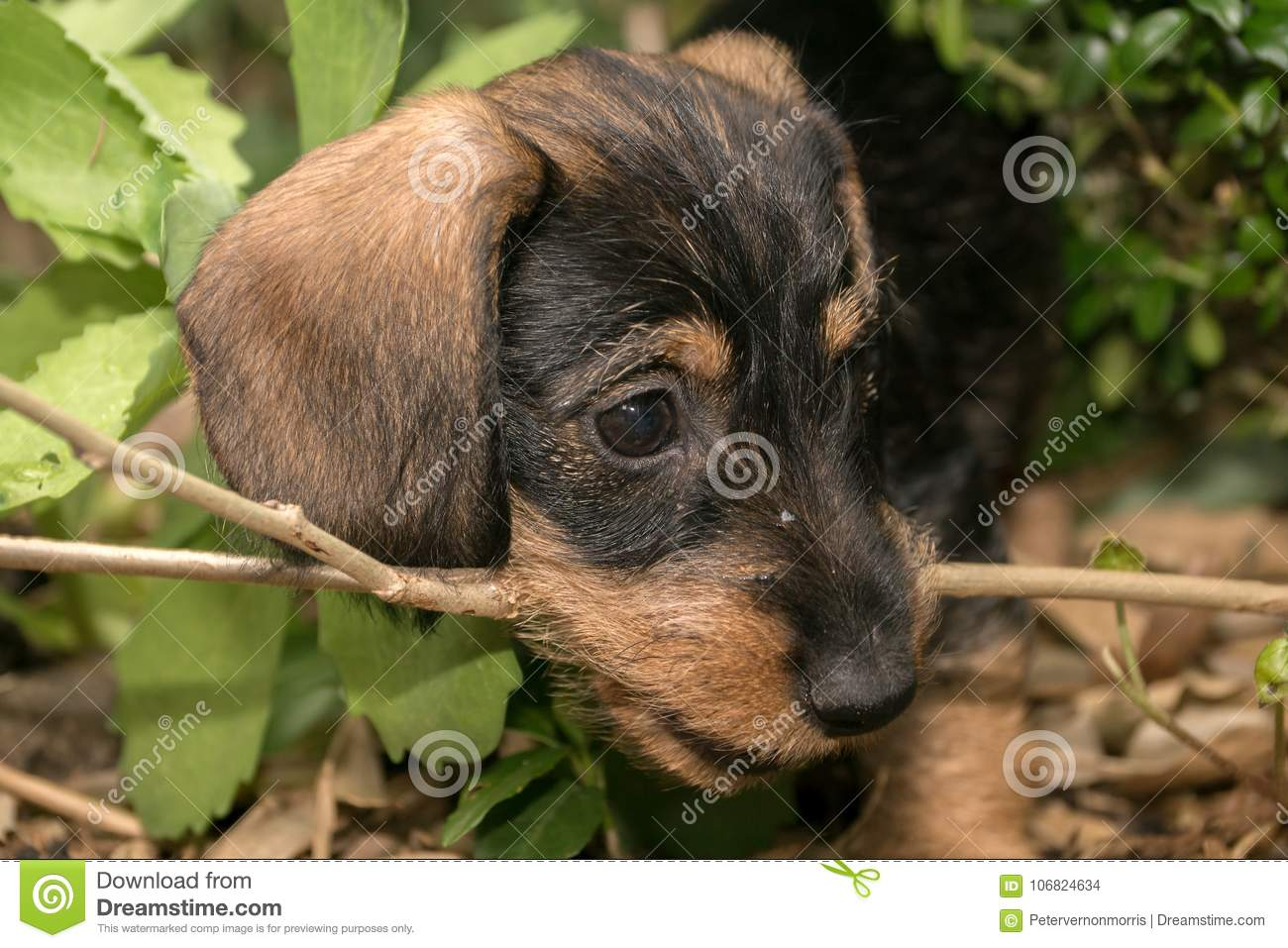 Wire Haired Miniature Dachshund Puppy Rudi Chewing On A Twig Stock ...