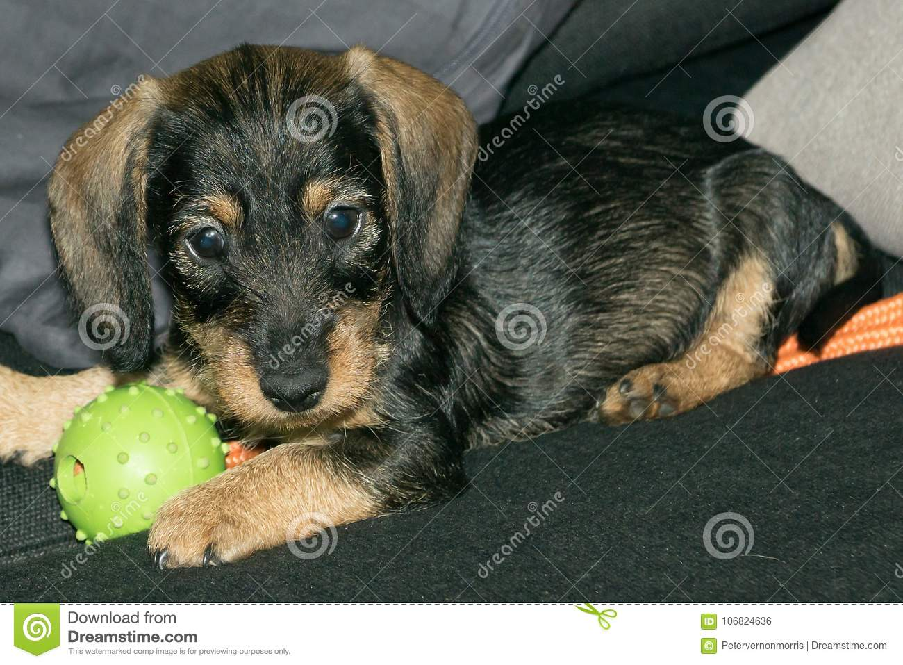 Wire Haired Miniature Dachshund Puppy Rudi Playing On Sofa Stock ...