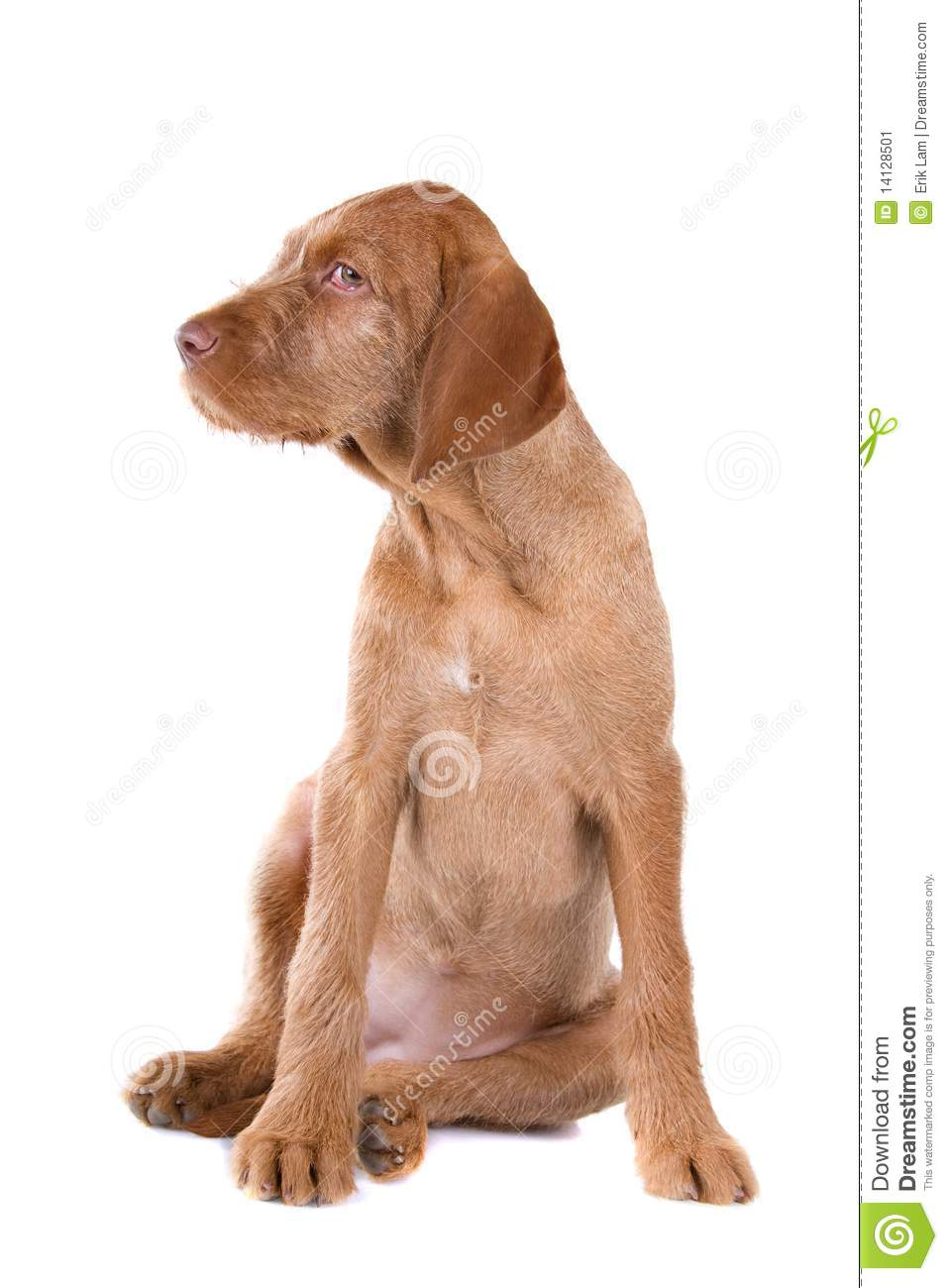 Wire Haired Vizsla Puppy Stock Image Image 14128501