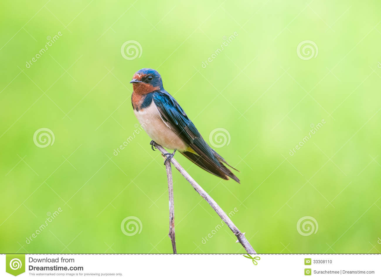 Barn Swallow Perched On Wire Schematics Data Wiring Diagrams Diagram Bird A Stock Photography Cartoondealer Com 66824474 Sound Western Cape