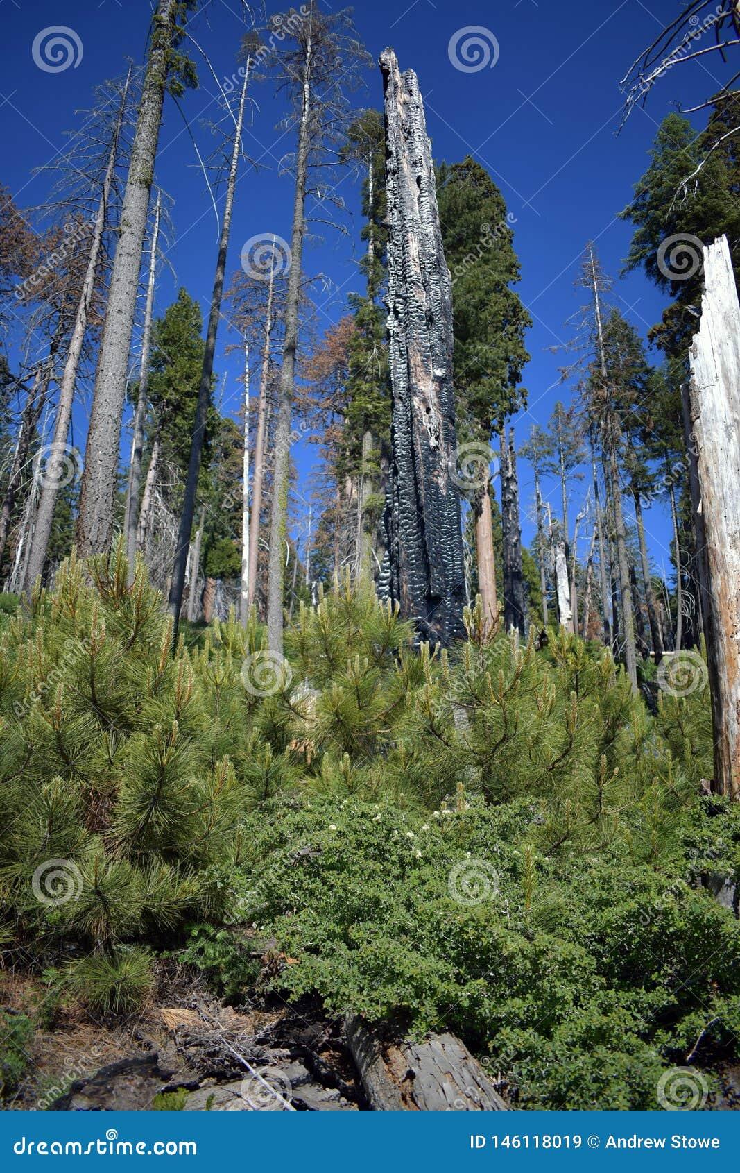 Wirklich gebrannte hohe Bäume