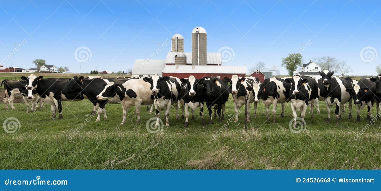 Wisconsin Dairy Cows Panorama Panoramic Banner Stock Photo
