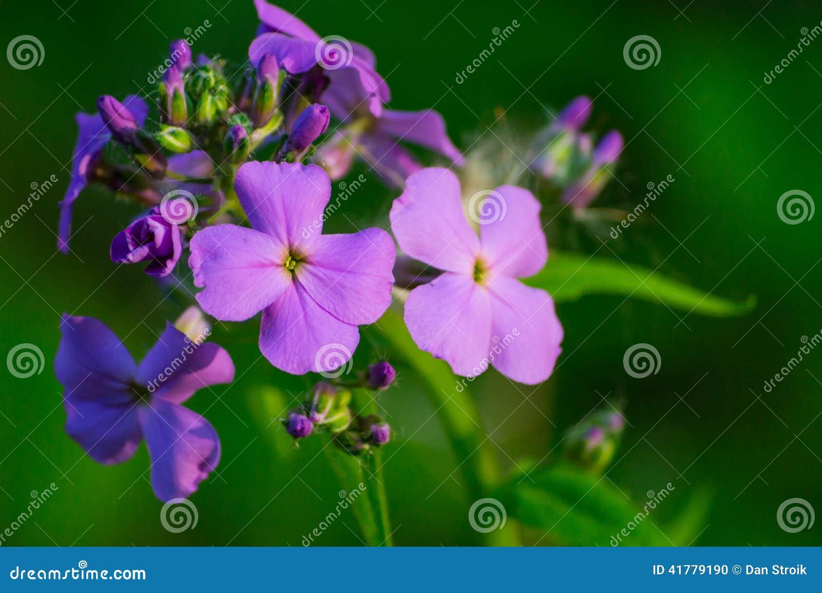 Wisconsin lös blomma