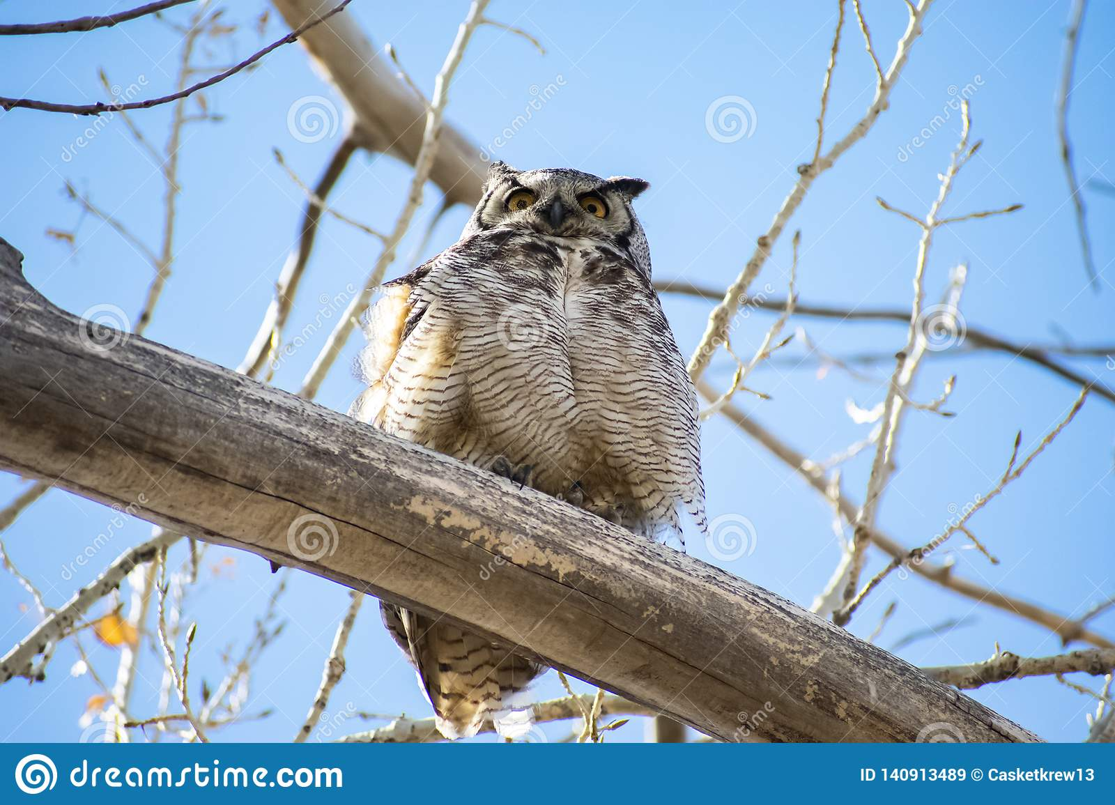 Wise Great Horned Owl in a Tree