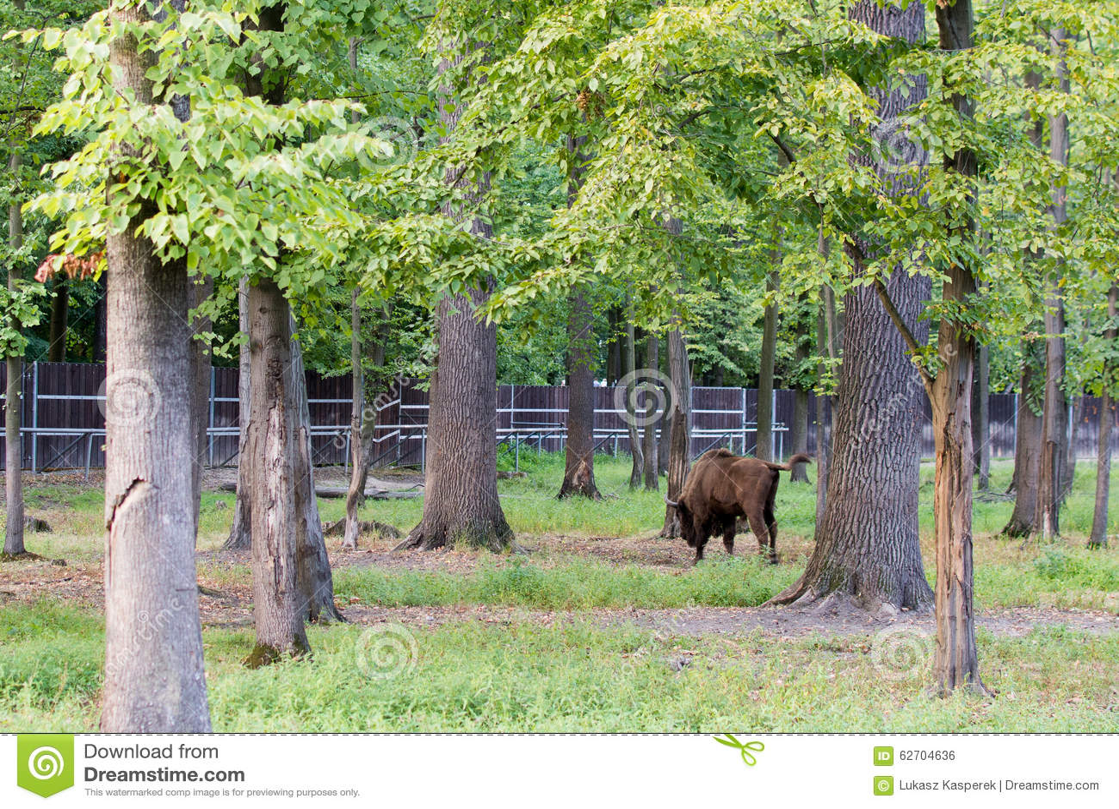 Wisent - Europejski żubr w drewnach