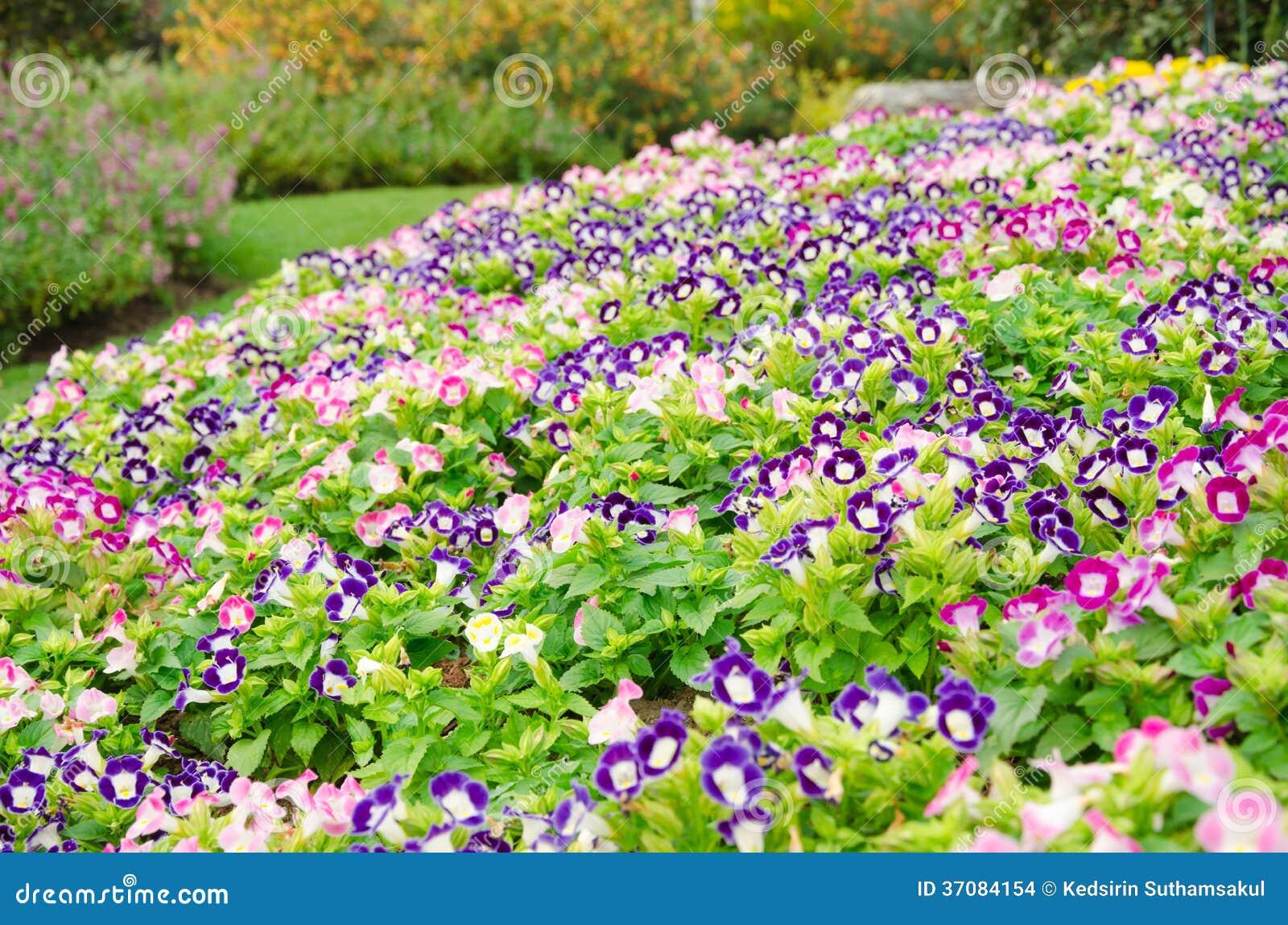 Download Wishbone Kwiatu Tło, Torenia Fournieri Zdjęcie Stock - Obraz złożonej z plenerowy, kolor: 37084154