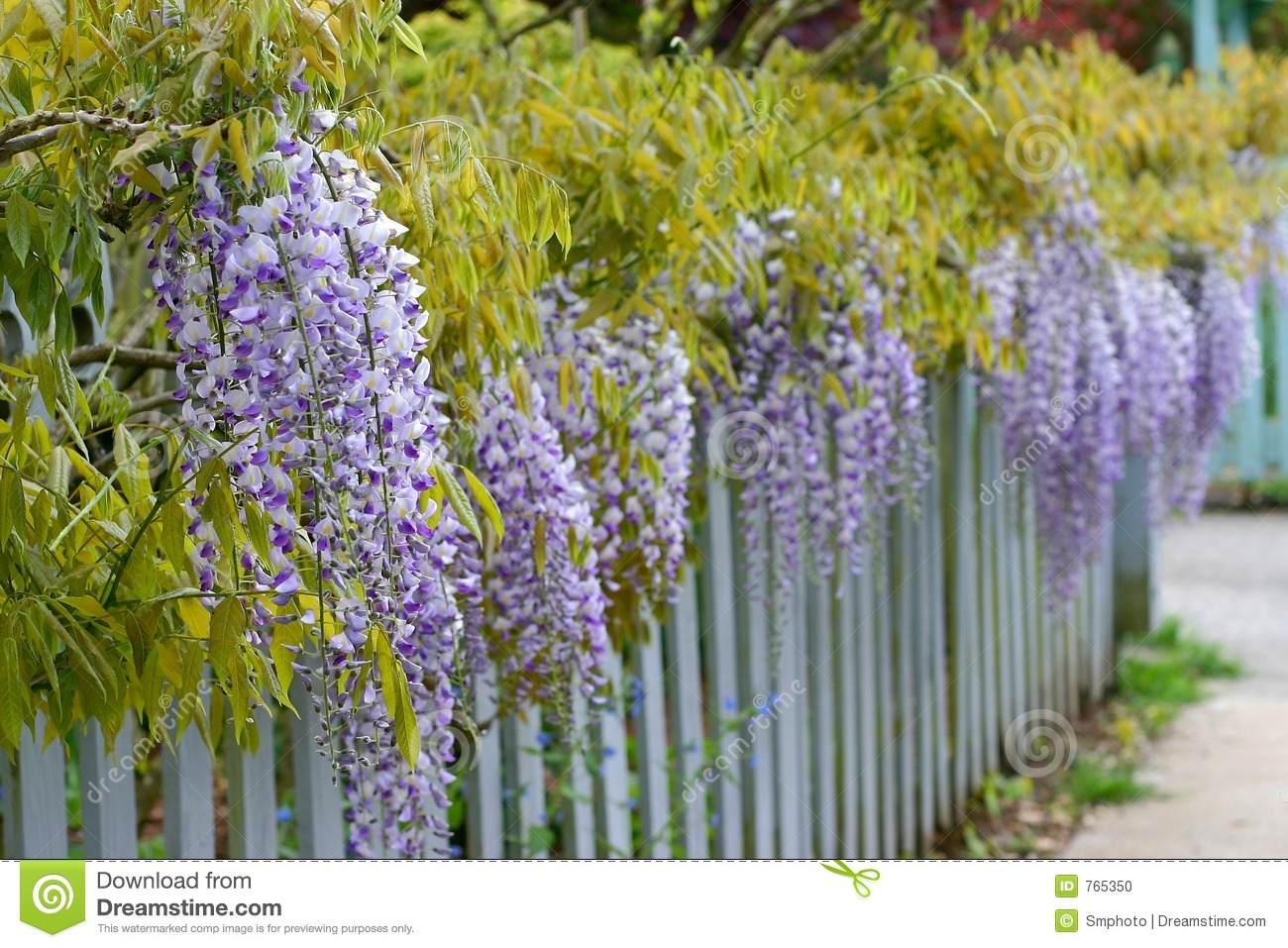 Download Wisteria stock photo. Image of fence, wisteria, blooming - 765350