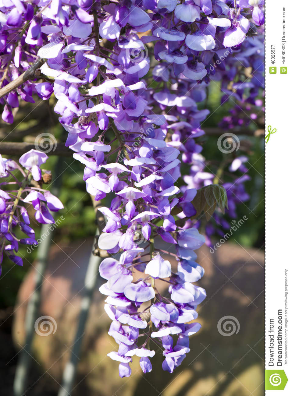 Blossoming Wisteria