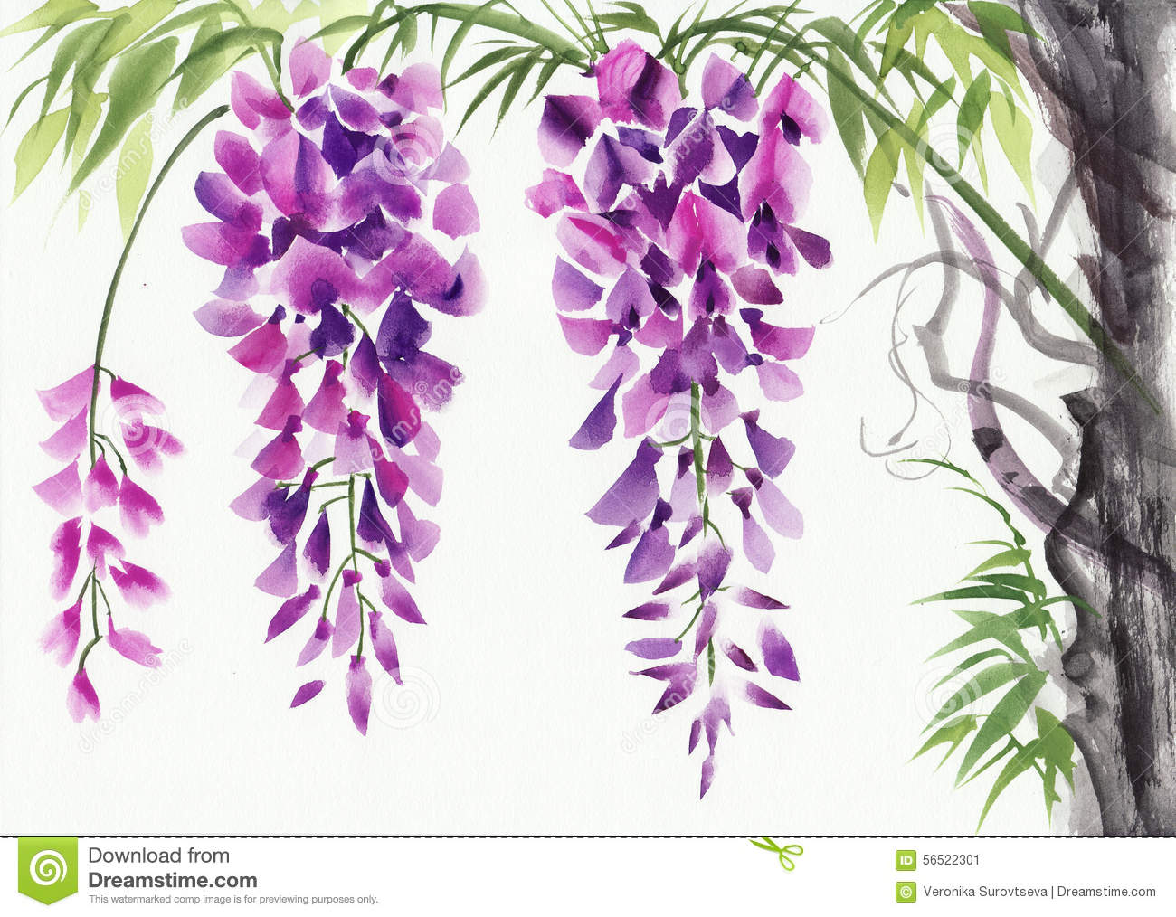 Wisteria Blossom Stock Illustration Illustration Of