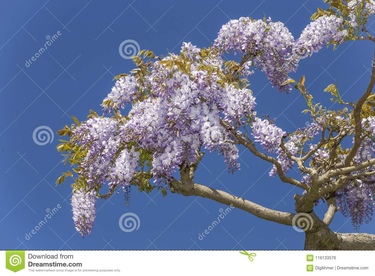 Wisteria blossoms flowers