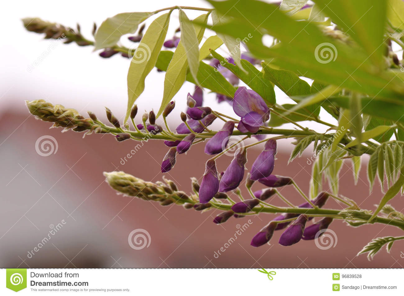 Wisteria Flower Buds Stock Photo Image Of Coloured Garden 96839528
