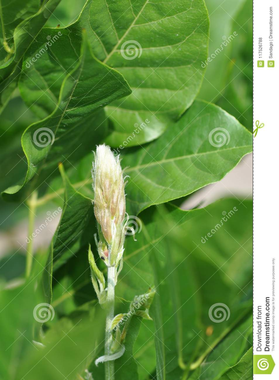 Wisteria Flower Buds Stock Photo Image Of Decorative 117526788