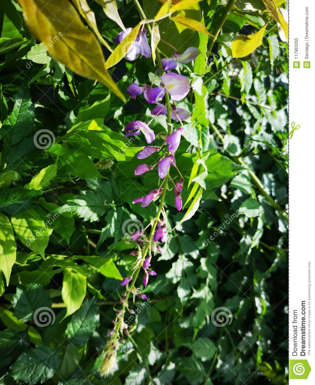 Wisteria Flower Buds Stock Image Image Of Custom Botany 117963265