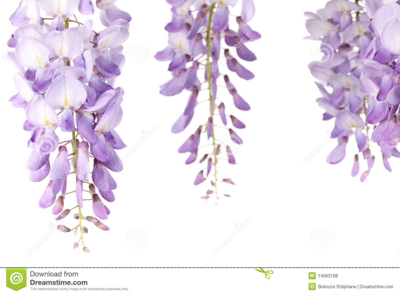 Wisteria flowers royalty free stock photos image 14063108 for Photographie de stock