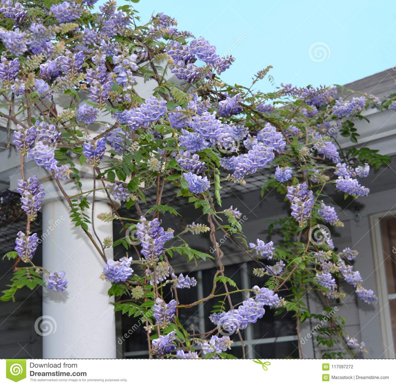 Wisteria Frutescens Blooming On A Pergola Stock Photo Image Of