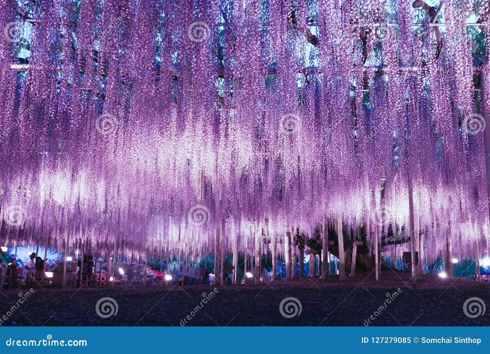 Wisteria illumination in Ashikaga Flower Park