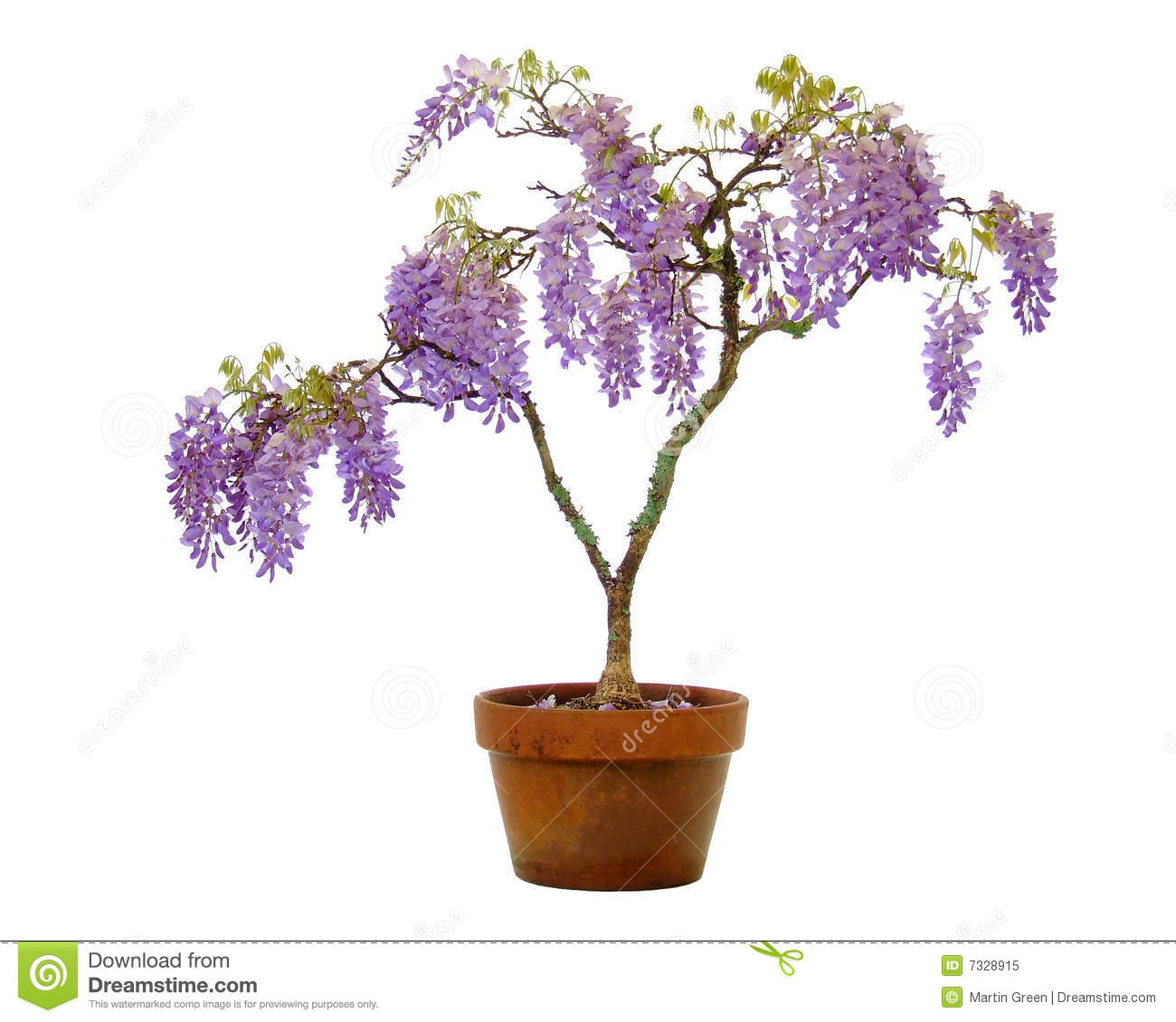 wisteria in a pot royalty free stock photo image 7328915