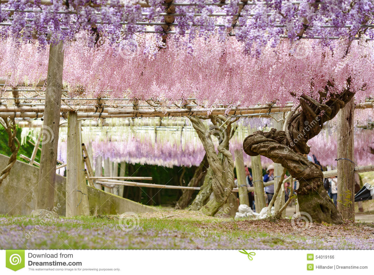 Wisteria tunnel the fantastical world full of wisteria Wisteria flower tunnel path in japan