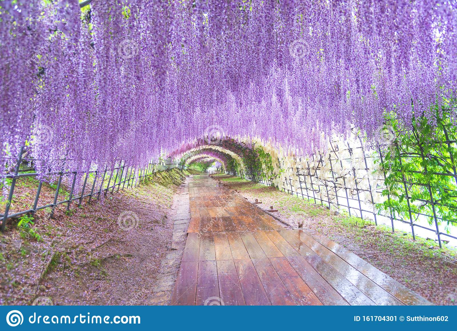 The Great Wisteria Flower Arch Wisteria Tunnel At Kawachi Fuji