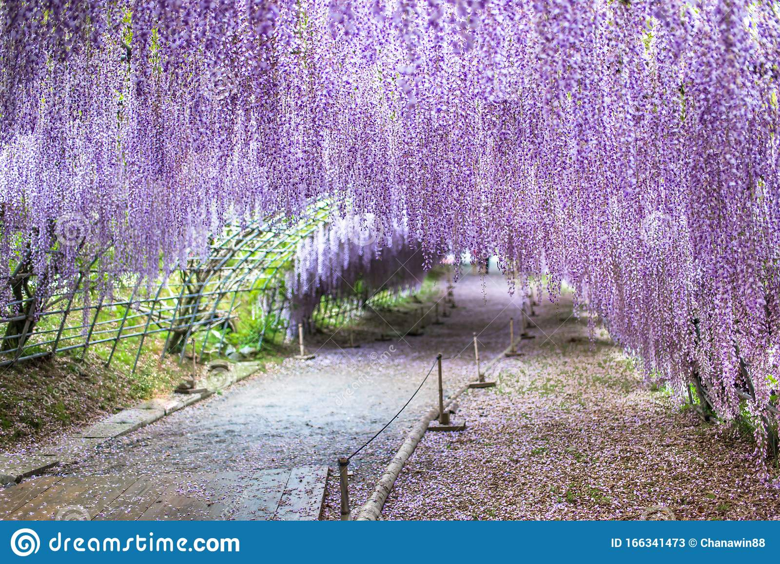 Wisteria Tunnel At Kawachi Fuji Garden Stock Image Image Of