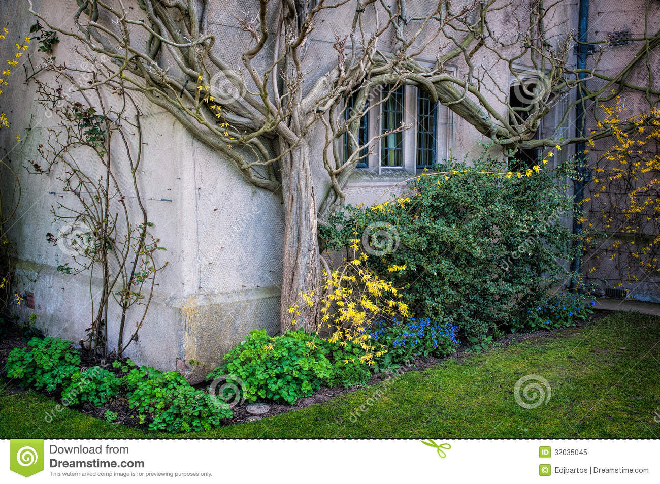 Wisteria Stock Image Image Of Spring Tree Hang Nature
