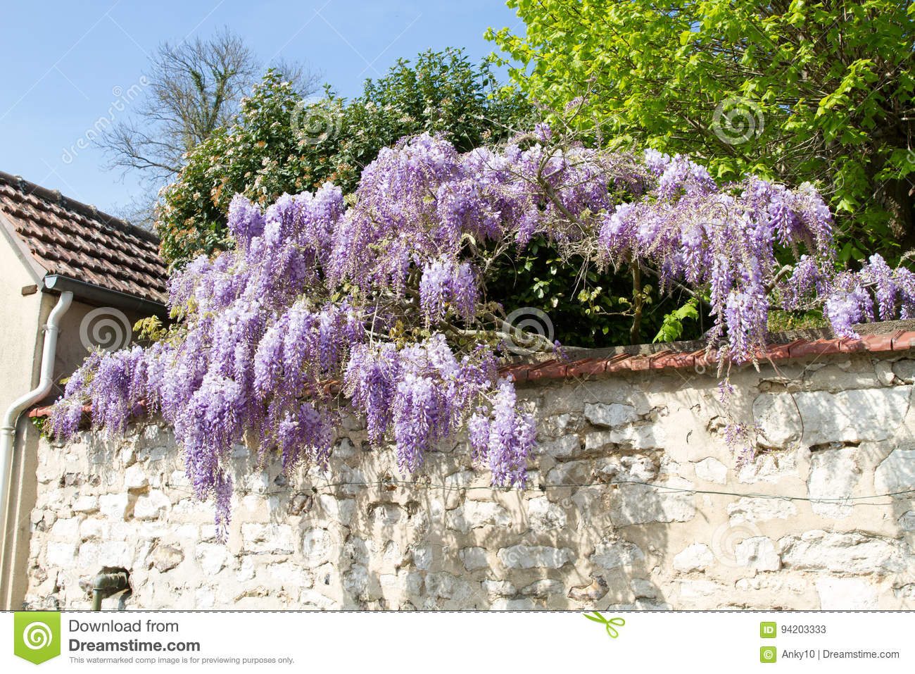 Wisteria Stock Image Image Of Nature Cluster Cascade 94203333