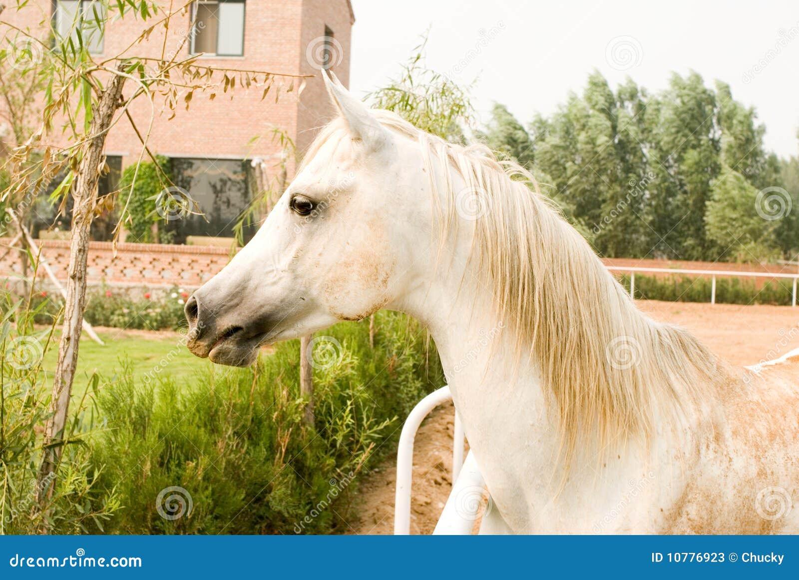 Wit Arabisch paard