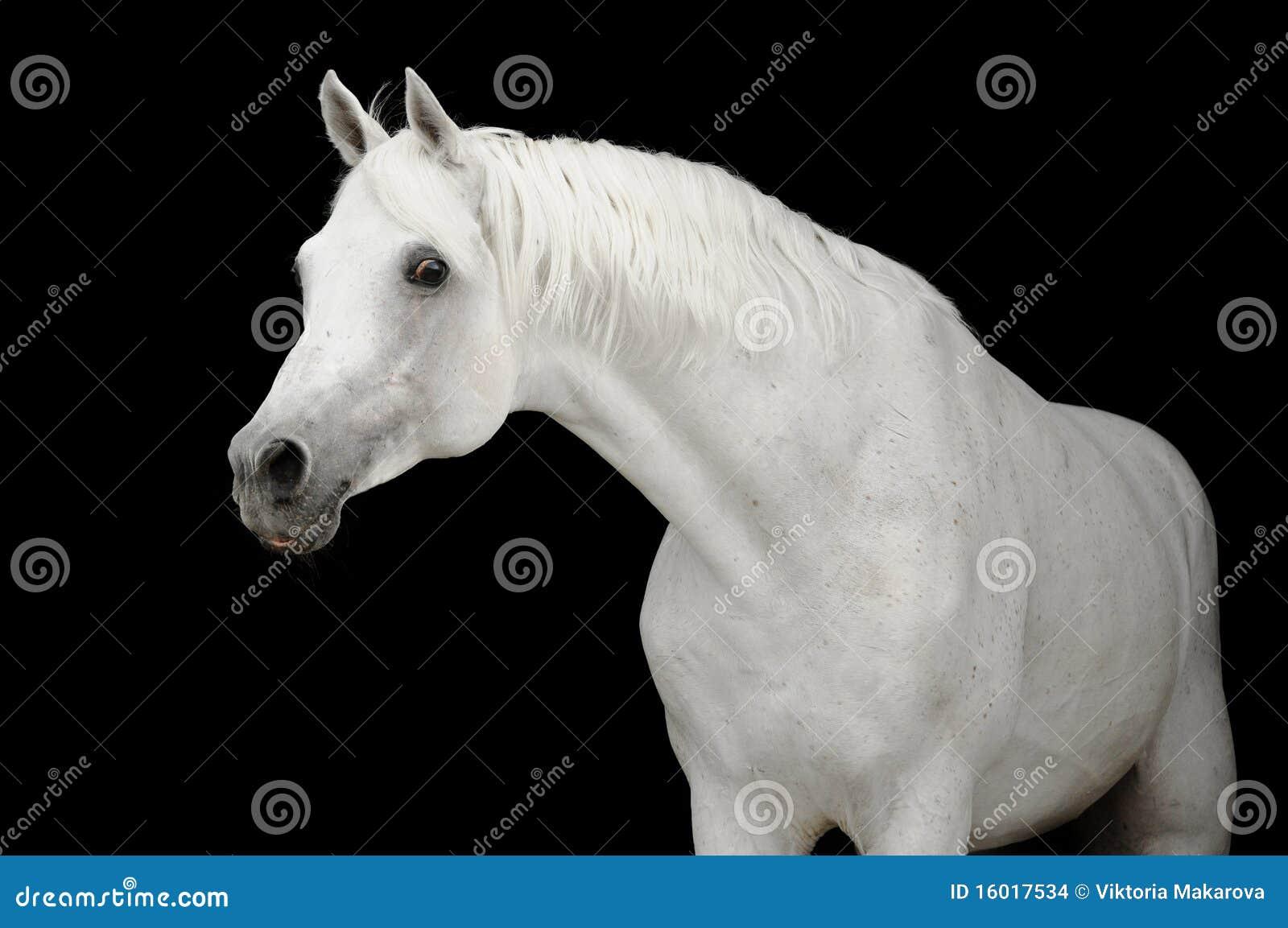 Wit Arabisch paard op zwarte backgroud
