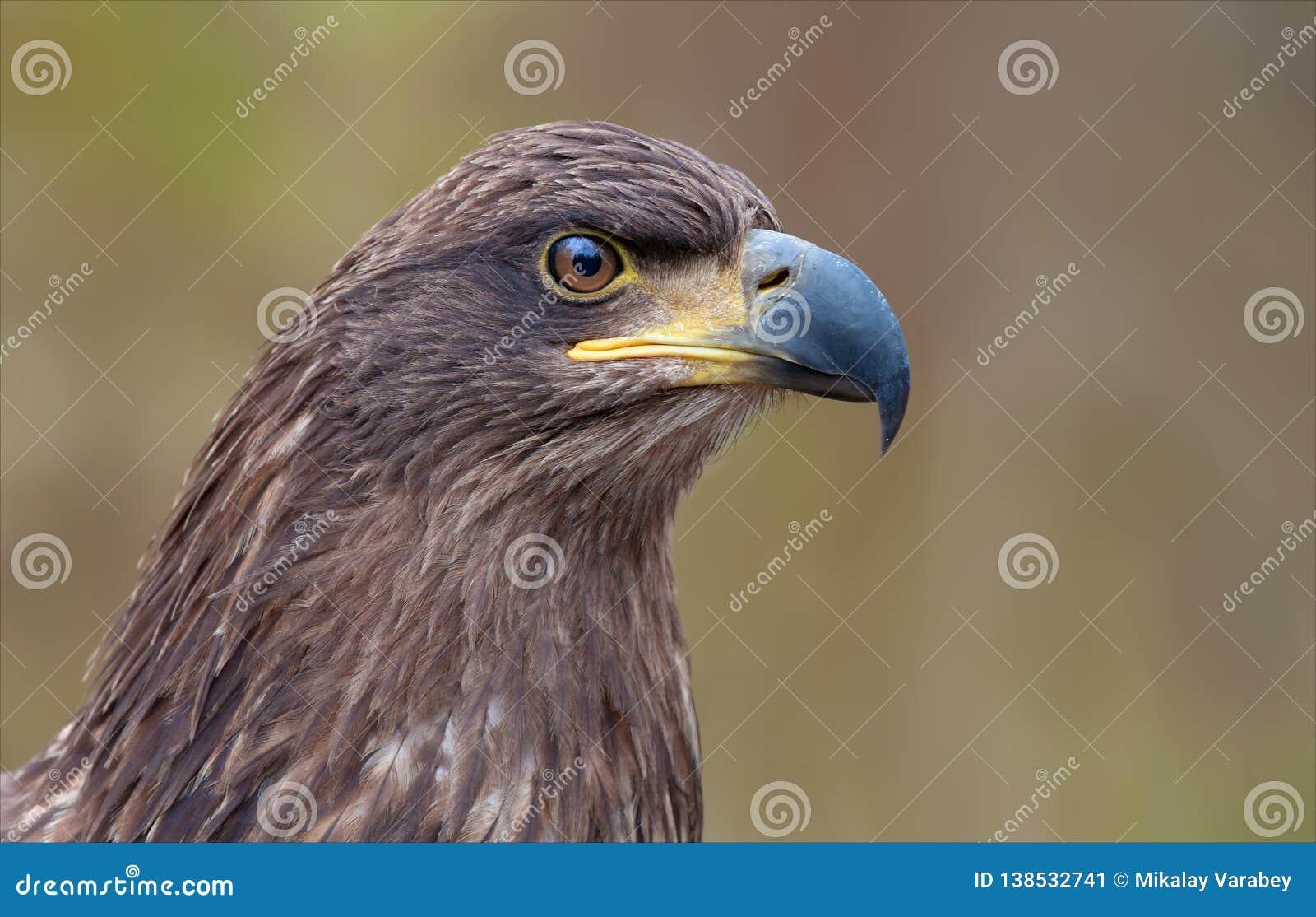 Wit-de steel verwijderd van adelaars hoofdportret van zeer shrtafstand