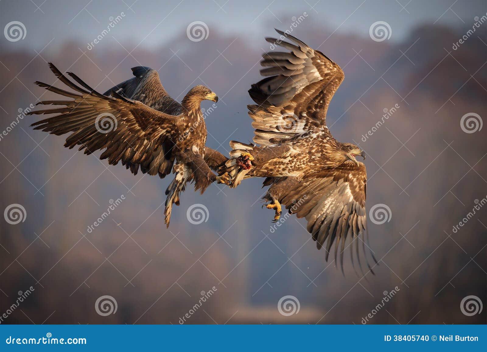 Wit-de steel verwijderde van overzeese adelaars die over voedsel vechten