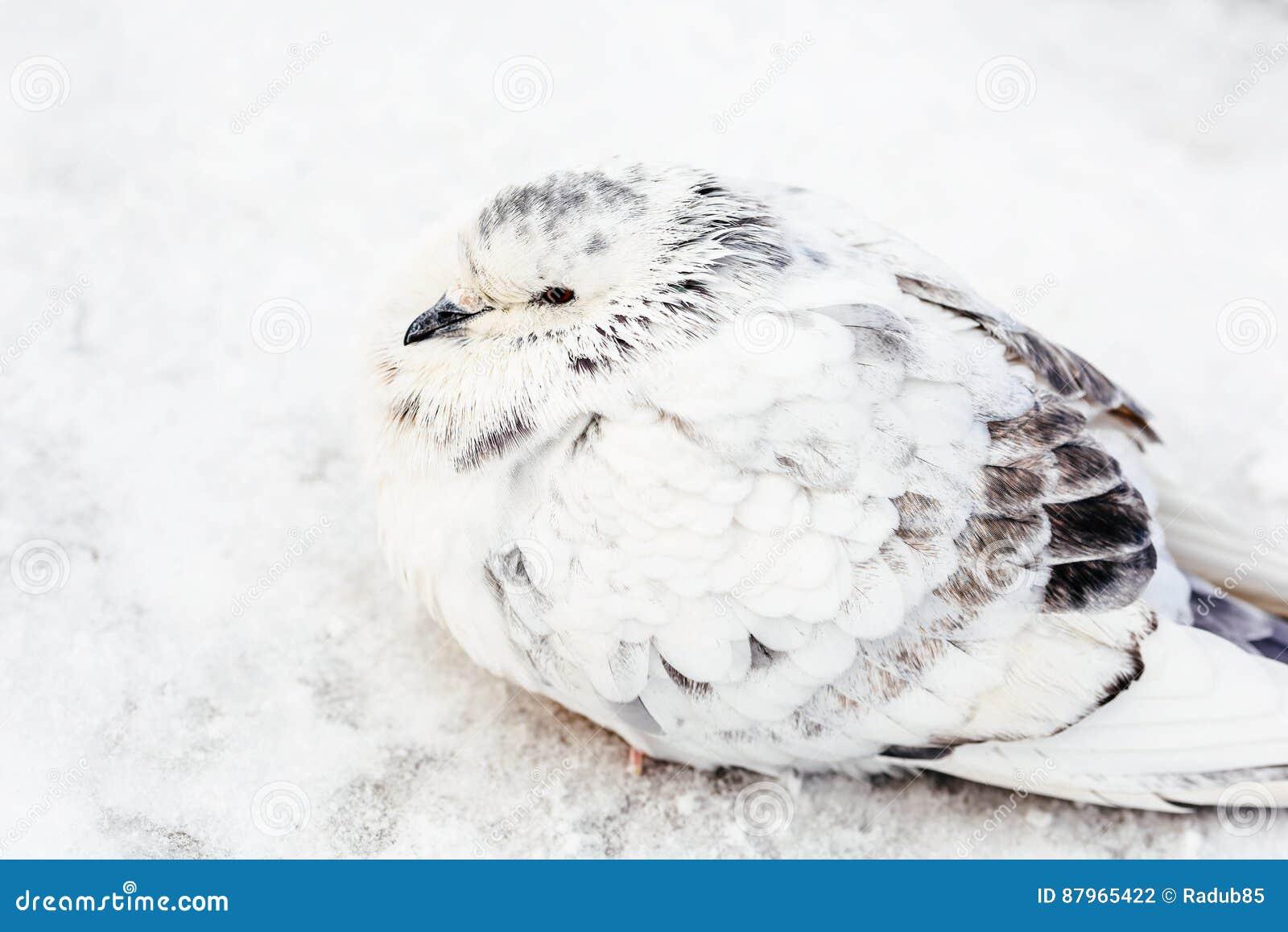 Wit en de Koude Winter van Gray Pigeon Bird Freezing In