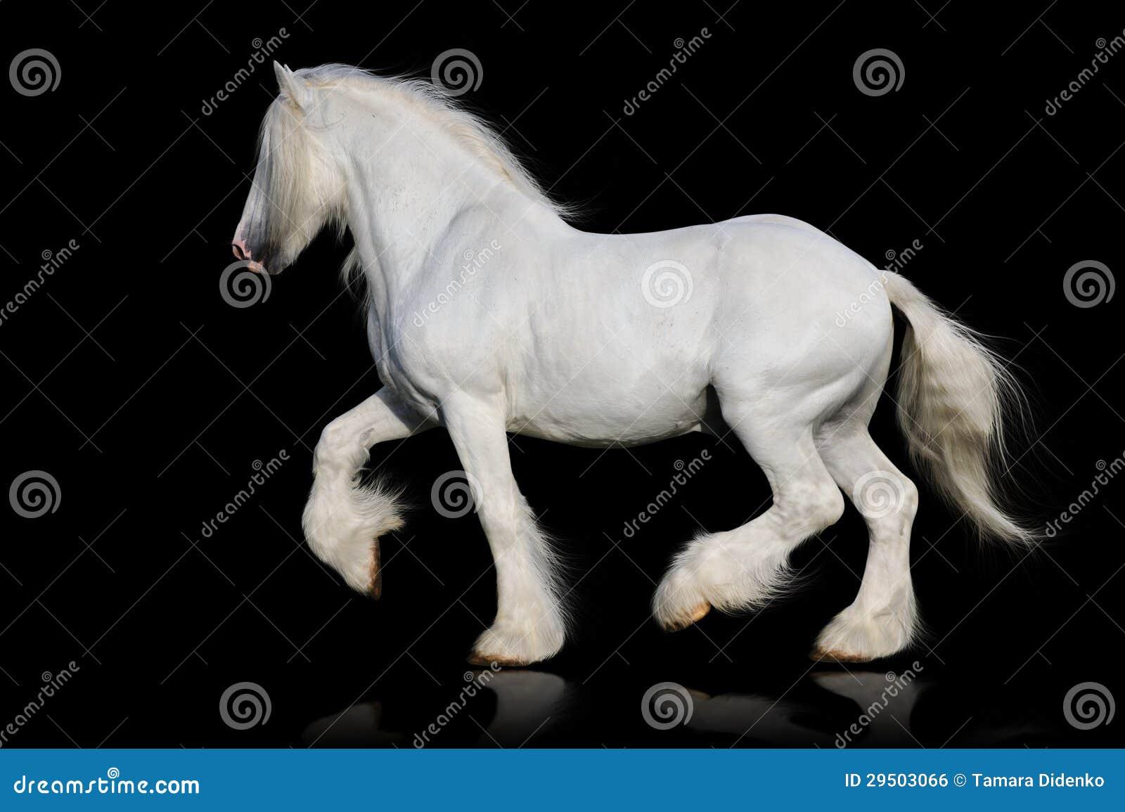 Wit graafschappaard dat op de zwarte wordt geïsoleerdi