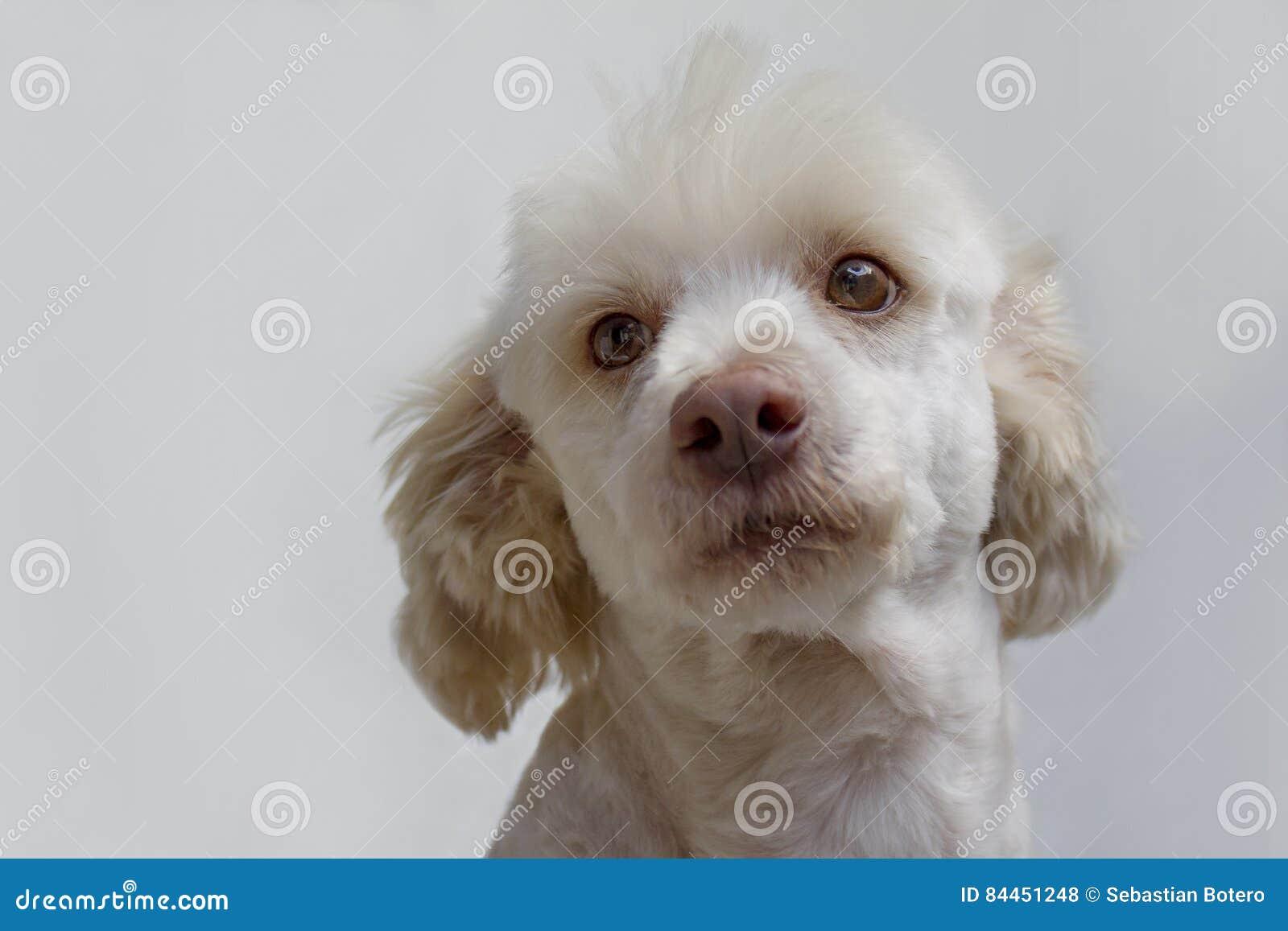 Wit hondportret Frans poedel wit mannetje