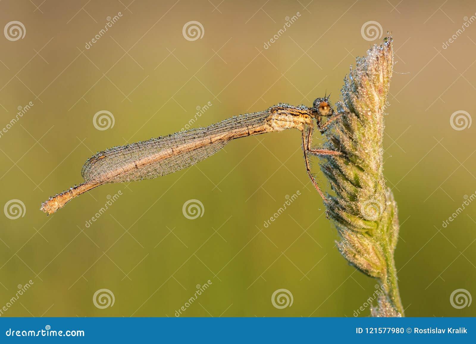 Wit-legged damselfly Platycnemis pennipes