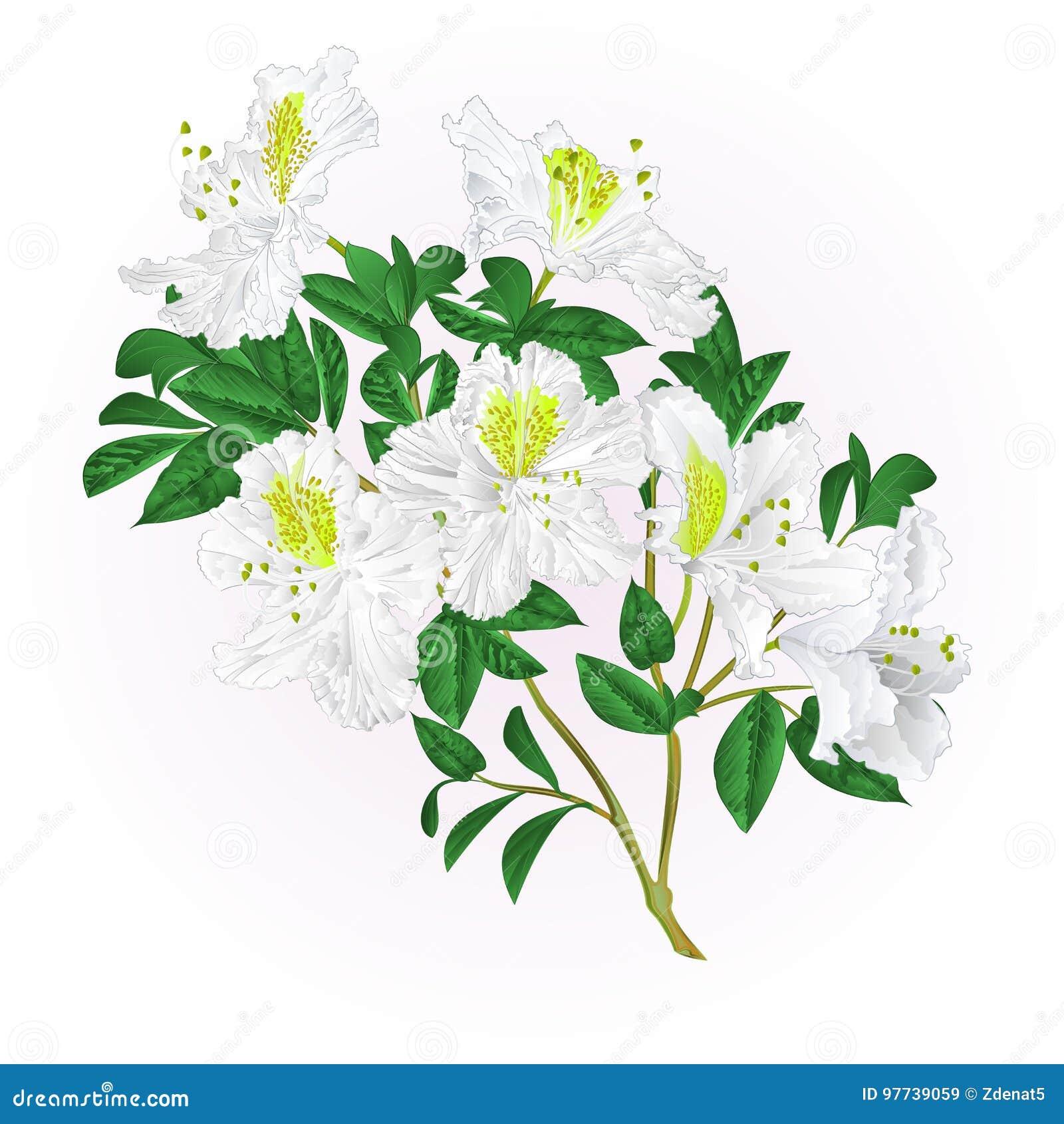Wit rododendrontakje met bloemen en bladeren de uitstekende vector editable illustratie van de bergstruik