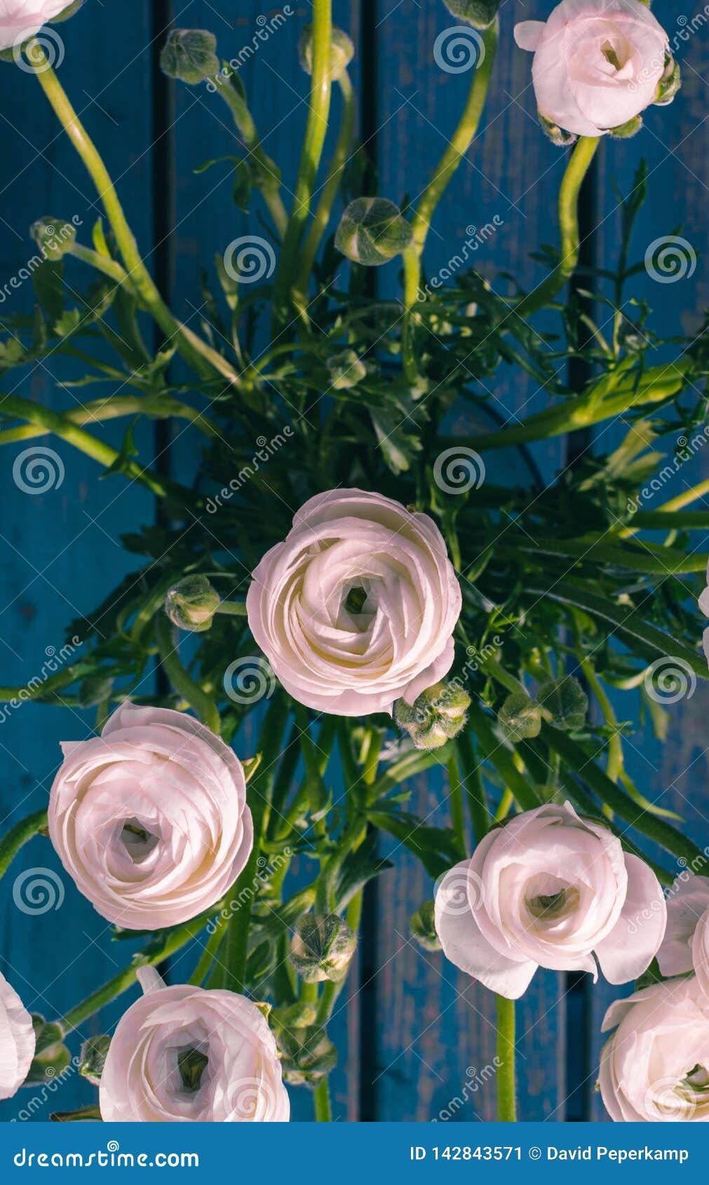 Wit/roze/Ranonkels/Ranunculus/Bloemen/Bloemen/Perzische Boterbloem