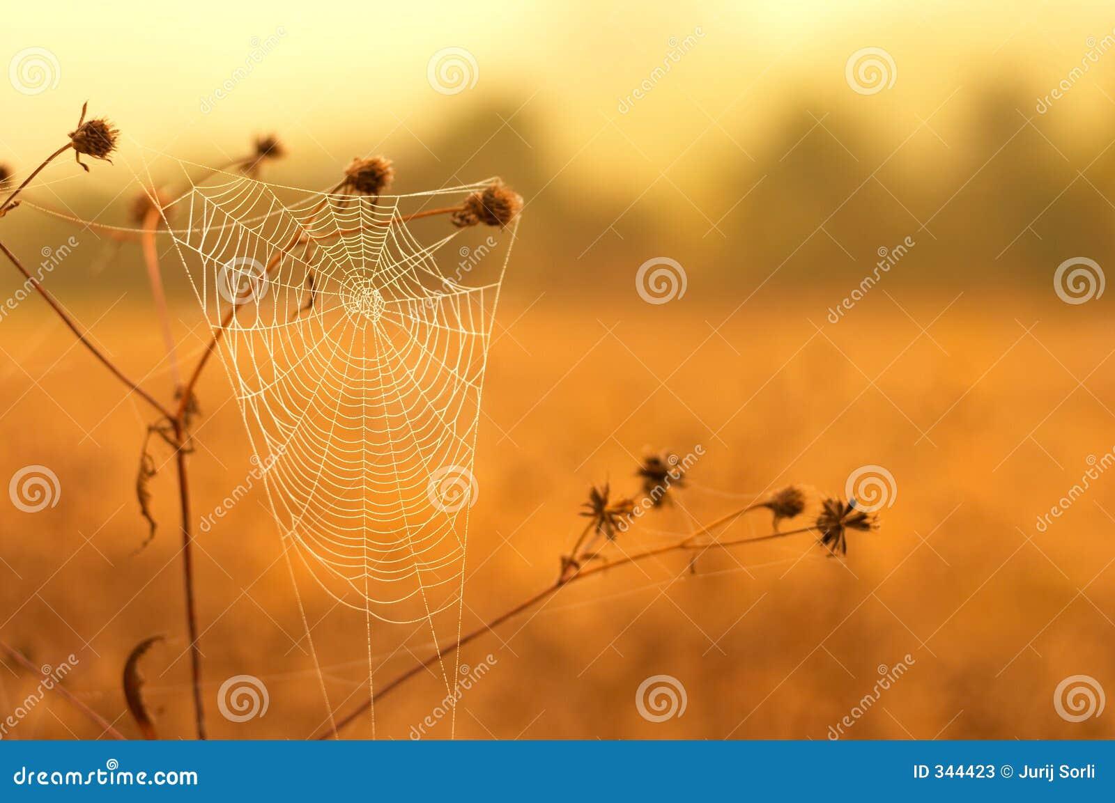 Wit spinneweb