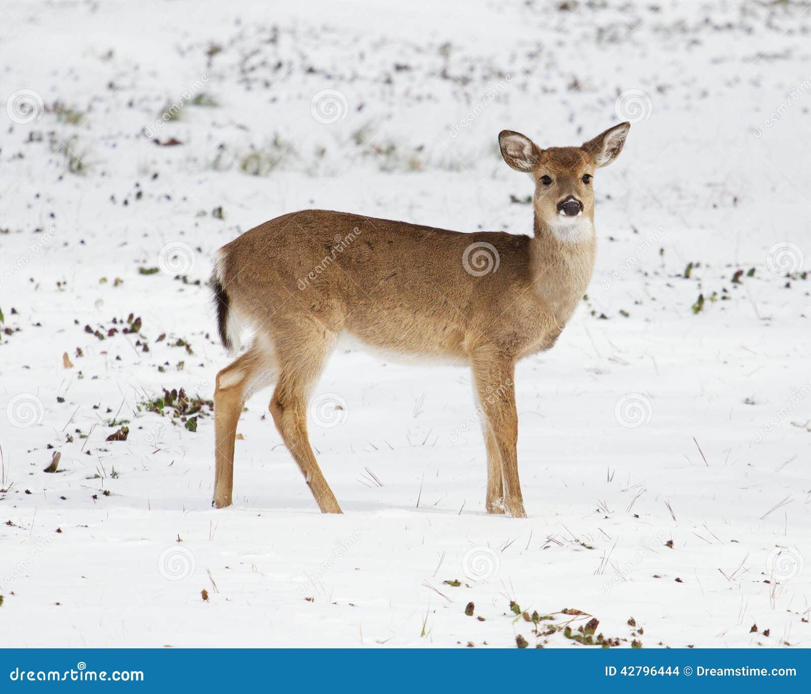 Wit-staartherten in de sneeuw