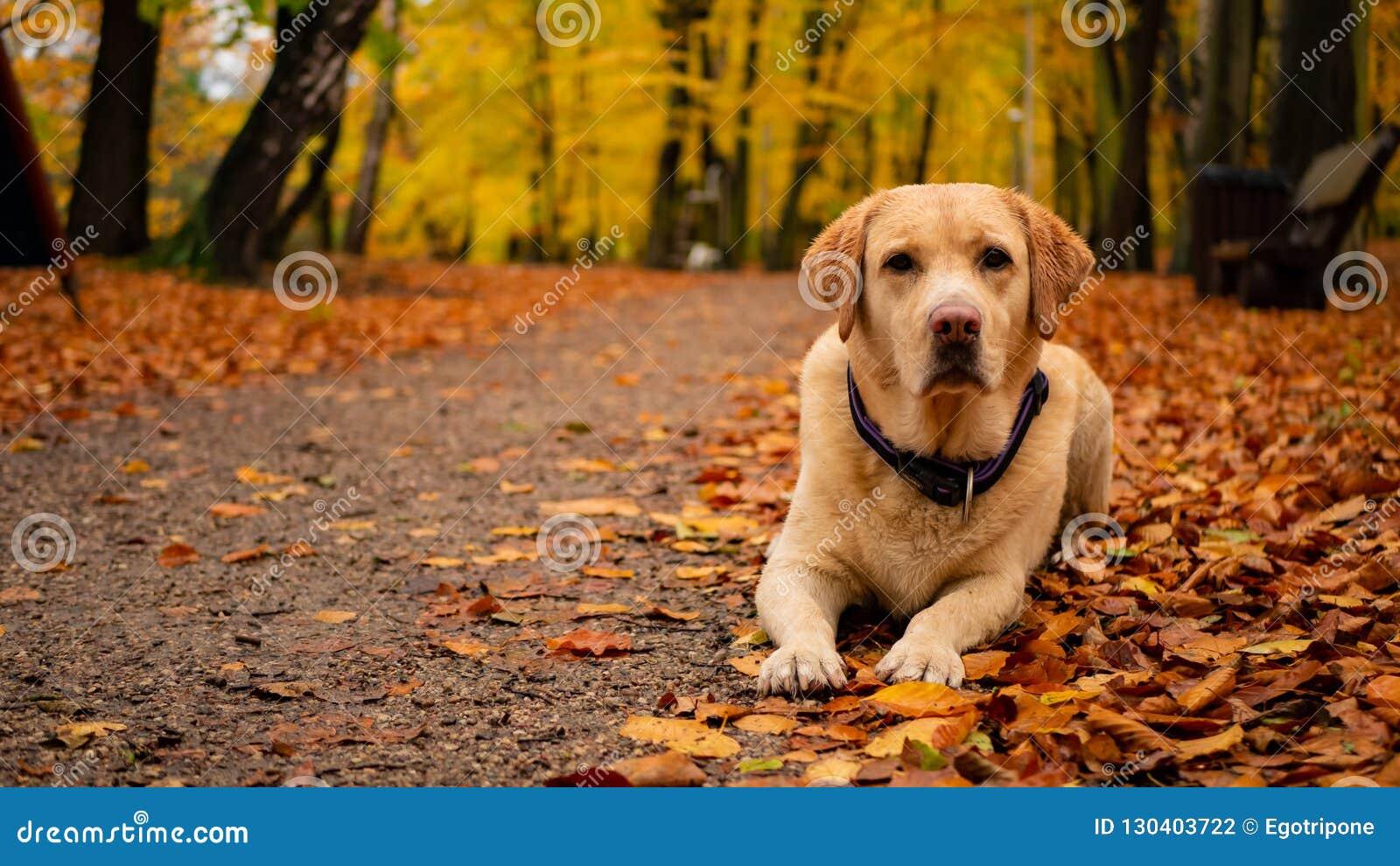 Wit volwassen labrador retriever op de bladeren in de herfstpark